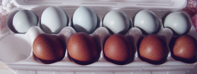 Ameraucana and Marans eggs
