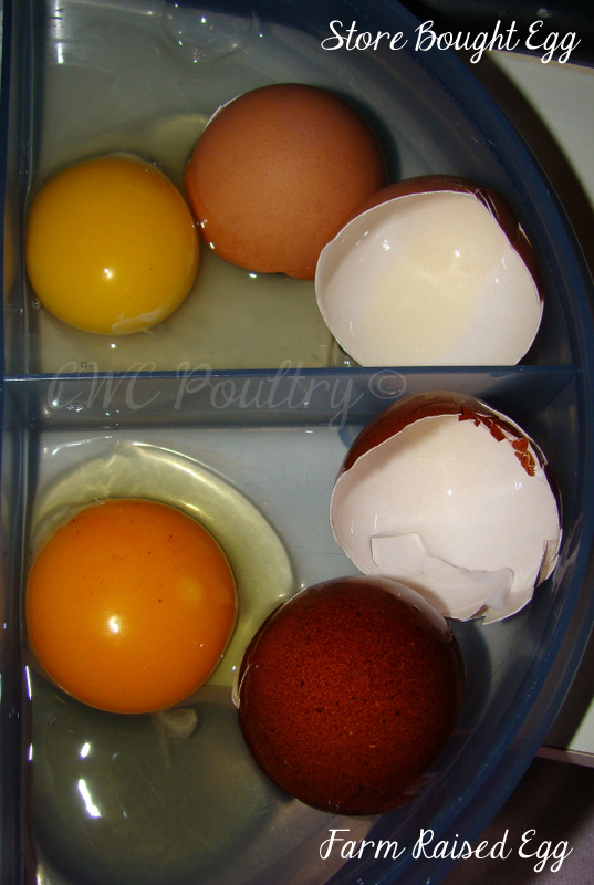 Store bought egg vs Marans egg
